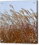 Pampas Grass In The Wind 1 Acrylic Print