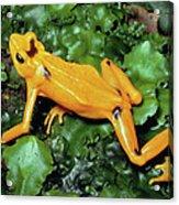 Panamanian Golden Frog Atelopus Zeteki Acrylic Print