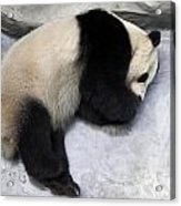 Panda Paws Acrylic Print