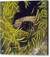 Panda Acrylic Print by Steven Wood