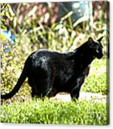 Panther In The Backyard Acrylic Print by Cheryl Poland