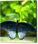 Papilio Lowii II Acrylic Print