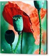 Papoula Acrylic Print