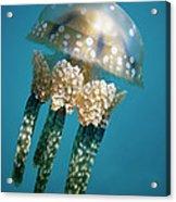 Papuan Jellyfish Mastigias Papua, Palau Acrylic Print