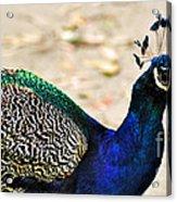 Parading Peacock Acrylic Print