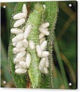 Parasitic Wasp Larvae On Caterpillar Acrylic Print