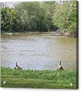 Parenting Geese 1 Acrylic Print