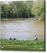 Parenting Geese 4 Acrylic Print