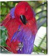 Parrot Attitude Acrylic Print