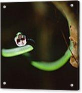 Parrot Snake Leptophis Ahaetulla Acrylic Print