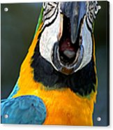 Parrot Squawking Acrylic Print