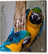 Parrot Talk Acrylic Print