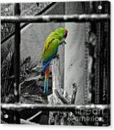 Parrott Thro The Cage Acrylic Print