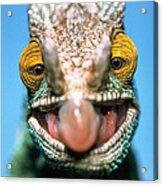 Parsons Chameleon Calumma Parsonii Acrylic Print