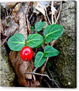 Partridge Berry Berry - Mitchella Repens Acrylic Print