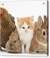 Partridge Pekin Bantam With Kitten Acrylic Print