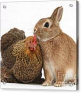 Partridge Pekin Bantam With Rabbit Acrylic Print