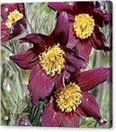 Pasque Flower (pulsatilla Vulgaris) Acrylic Print