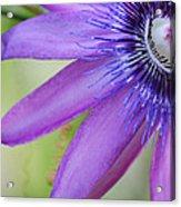 Passiflora Caerulea Acrylic Print by Melanie Moraga