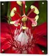 Passiflora Flower Acrylic Print by Zoe Ferrie