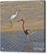 Passing Egrets Acrylic Print