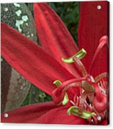 Passion Flower Blossom Costa Rica Acrylic Print