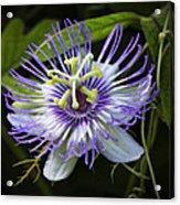 Passion Flower  Acrylic Print
