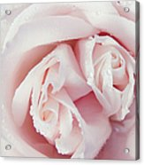 Passion For Flowers. One Rose Two Hearts Acrylic Print
