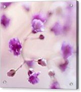 Passion For Flowers. Purple Pearls Of Gypsophila Acrylic Print