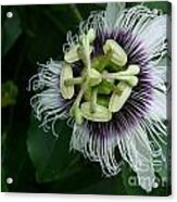 Passion Fruit Flower Acrylic Print