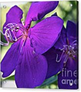 Passion Purple Acrylic Print