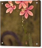 Passionate Pink Acrylic Print