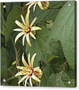 Passionflower Acrylic Print by Archie Young