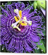 Passionflower Purple Acrylic Print by Rosalie Scanlon