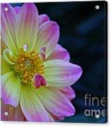 Pastel Dahlia Acrylic Print