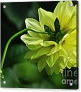 Pastel Lemon Dahlia 2 Acrylic Print