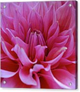 Pastel Pink Dahlia Acrylic Print