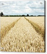 Paths Carved In Field Of Tall Wheat Acrylic Print