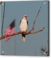 Patriotic White-tail Kite Acrylic Print