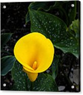 Paute Farm Yellow Stunner Acrylic Print