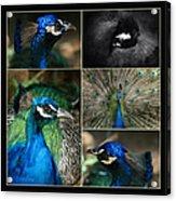 Pavo Cristatus IIi The Heart Of Solitude  - Indian Blue Peacock  Acrylic Print