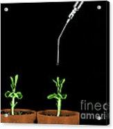Pea Plants Grown With Gibberellic Acid Acrylic Print