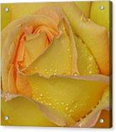 Peace Rose Acrylic Print