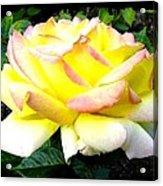 Peace Rose- Okanagan Valley Acrylic Print