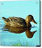 Peaceful Duck - 0993c2502e Acrylic Print