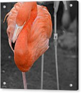 Peaceful Flamingo Acrylic Print