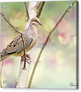 Peaceful Mourning Dove Acrylic Print
