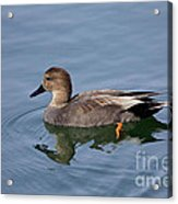 Peaceful Reflection- Female Gadwall Duck Swimming At The Pond Acrylic Print