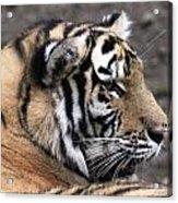 Peaceful Tiger Acrylic Print