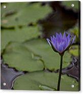 Peaceful Waterlily Acrylic Print